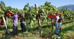 Harvest Time Tuscany