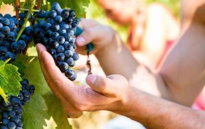 chianti grapes tour by bellaitaliatour