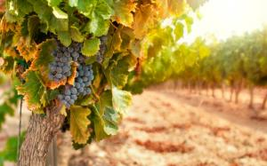 vineyards-and-grapes-wine-tour-and-tasting-in-Chianti-region